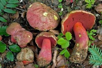 boletus-rubrosanguineus-hrib-moseruv