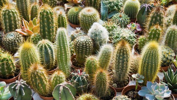 41. Výstava kaktusů a sukulentů