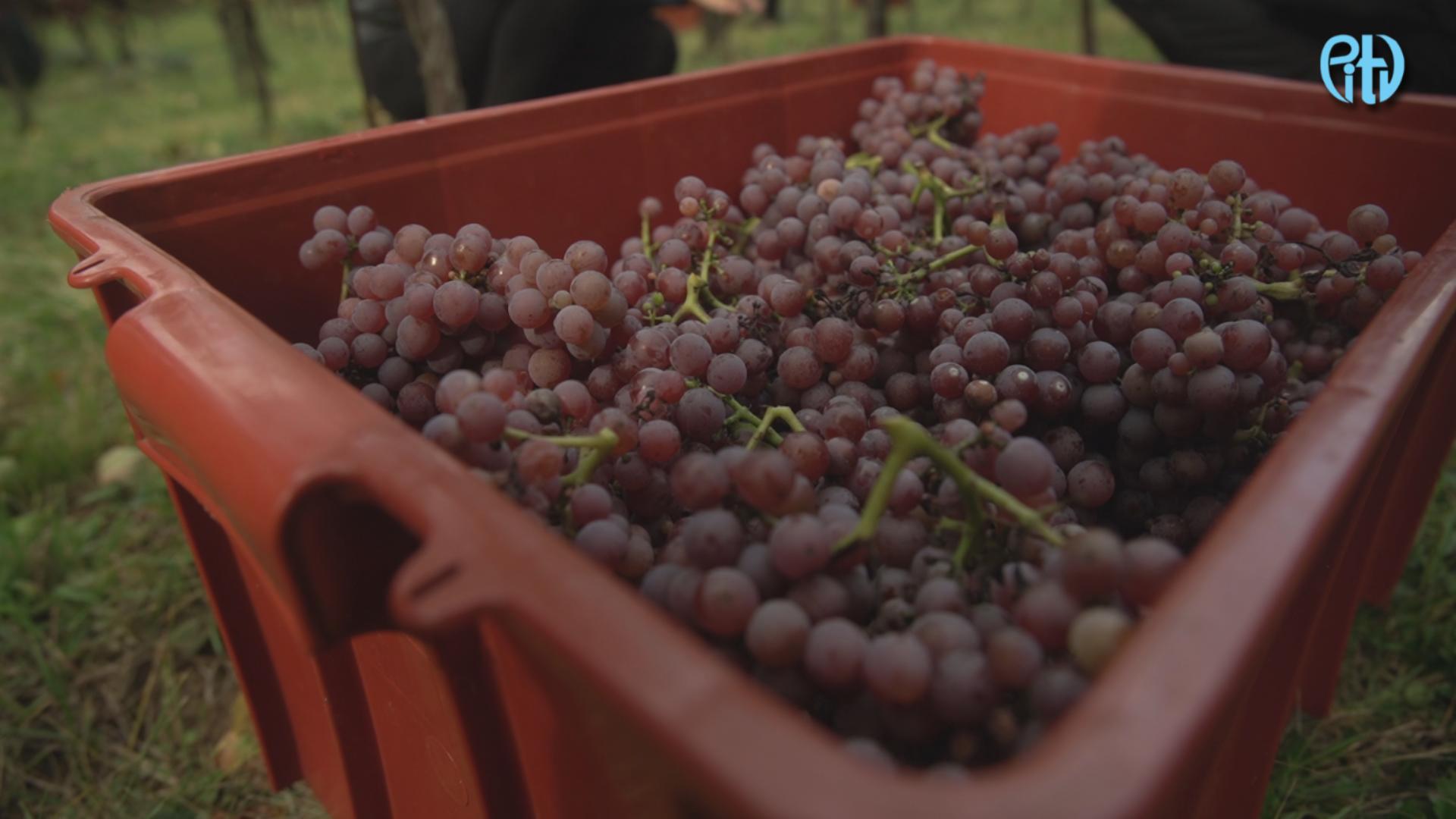 VIDEO: Jak probíhá vinobraní na přerovské vinici? Práce je to náročná, bez rodiny a přátel bychom to nezvládli, shodují se vinaři